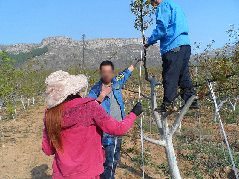 在泰安指导树干修整
