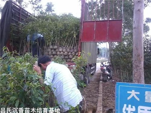 广东梅州蓝先生装车5万颗沉香大杯苗