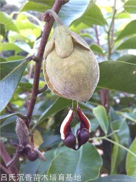 采種及種子處理;一般在6~7月,當果實由青綠轉黃,果殼呈棕褐色時,連果枝一并采下。采回的果枝放在通風處陰干,不能日曬,經2~3天,果殼開裂,種子自行脫出,最好及時播種育苗。否則要妥善貯藏,于通風、低濕處貯藏,但不可超過7~10天。