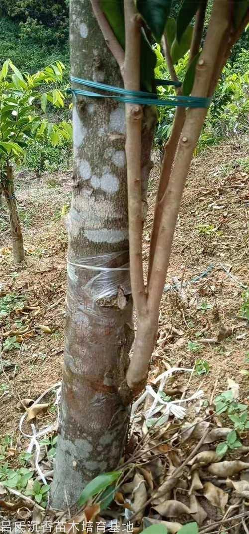 白木香沉香成功改良奇楠沉香树