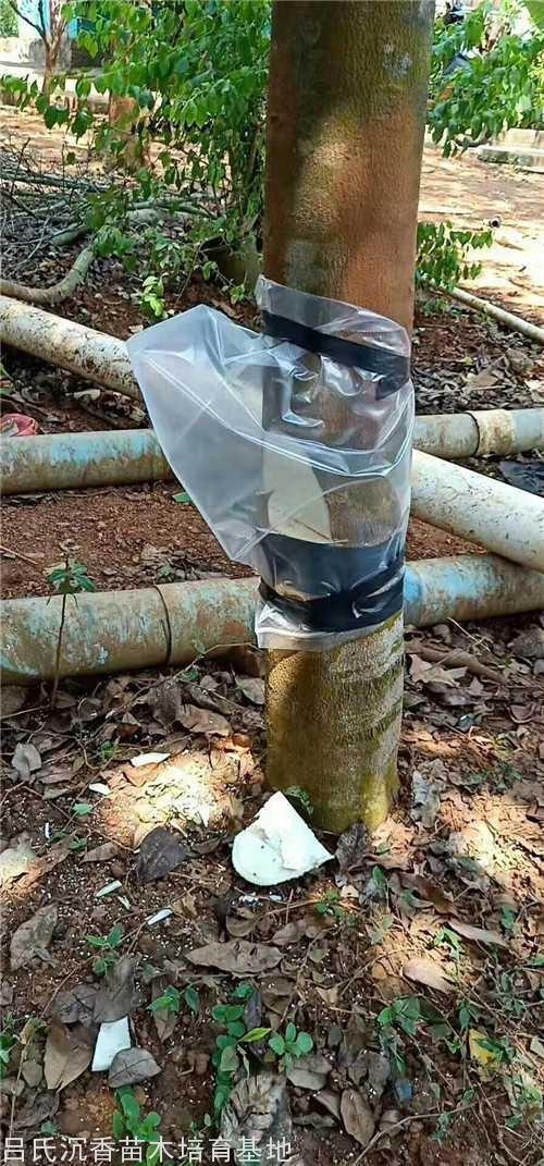 普通金砖彩票网树经过我们的改良嫁接成为优质奇楠品种