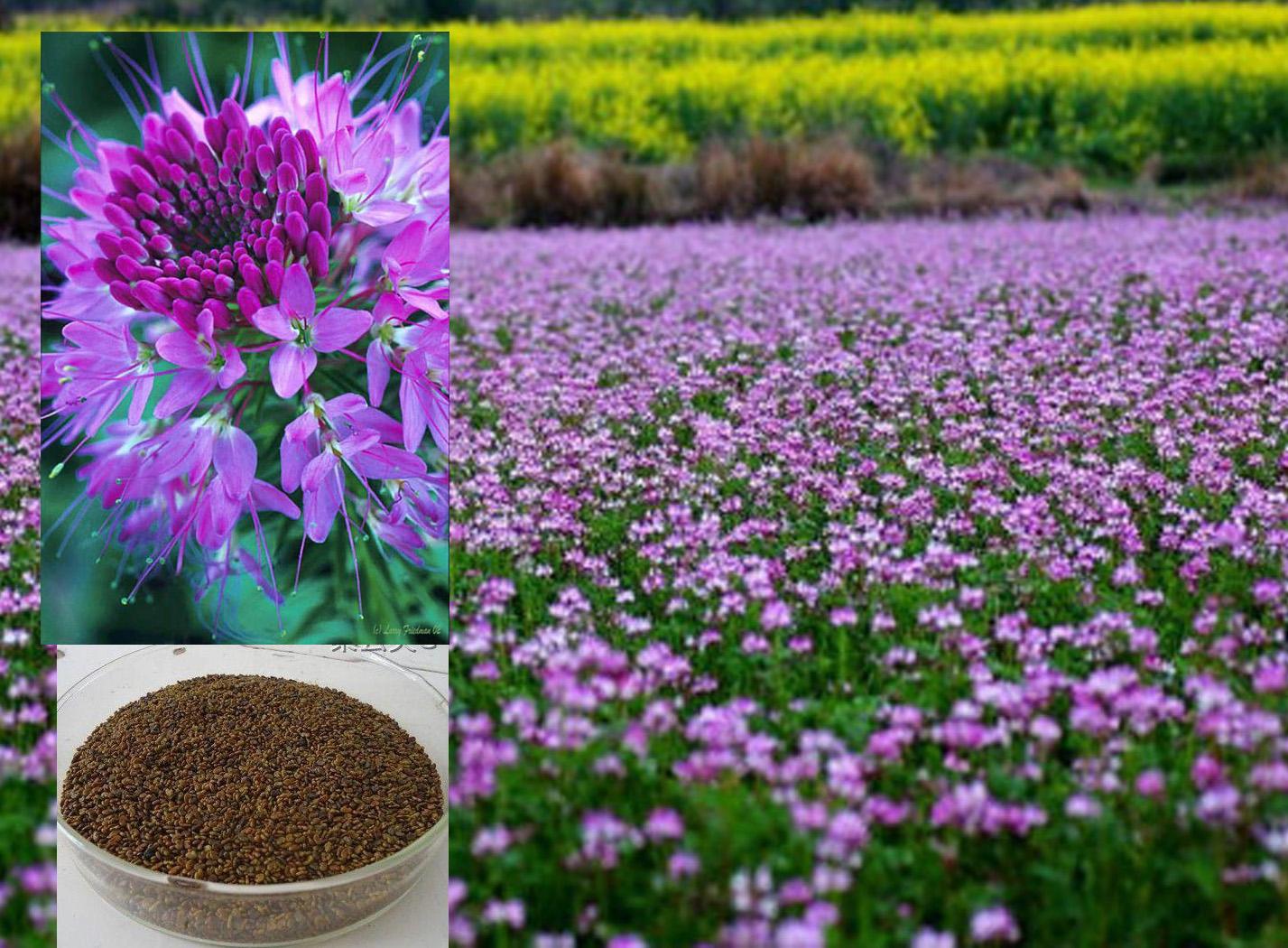 紫云英种子