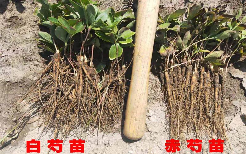 赤芍苗和白芍苗的區分.jpg