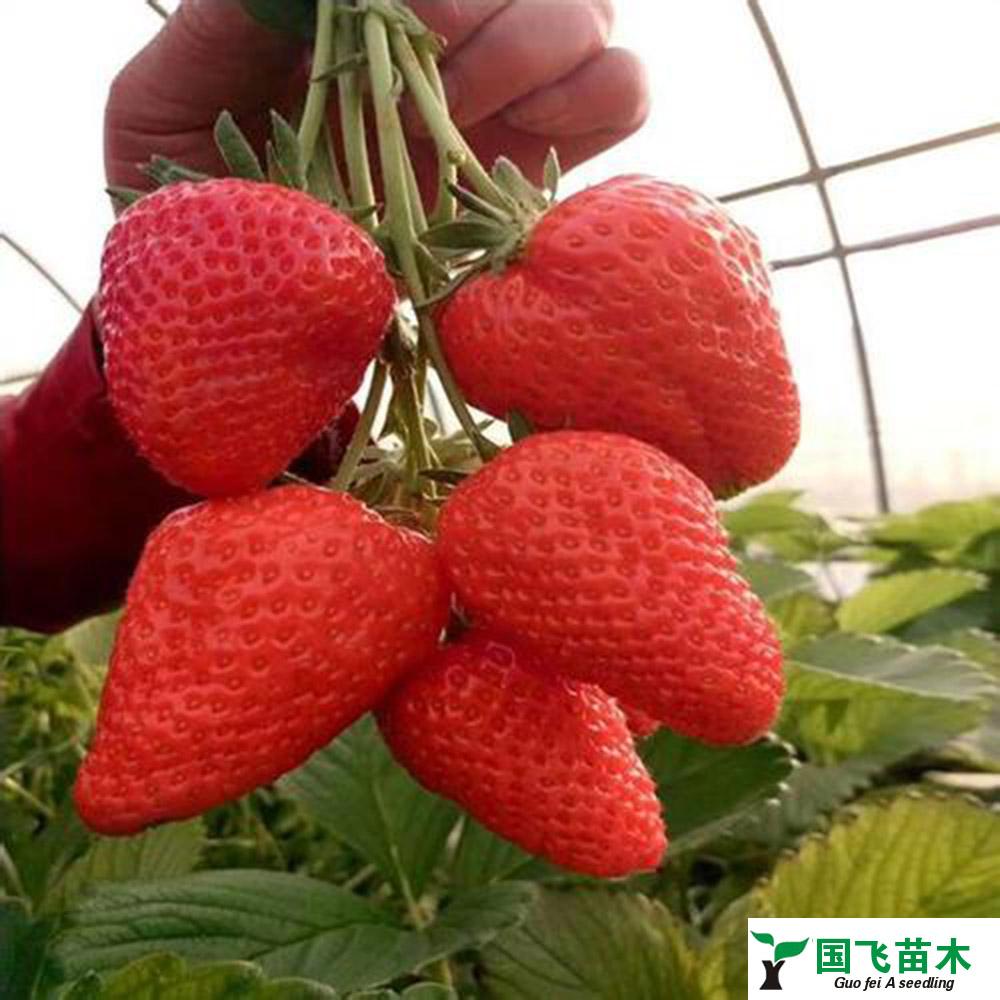 秦皇岛草莓种苗,