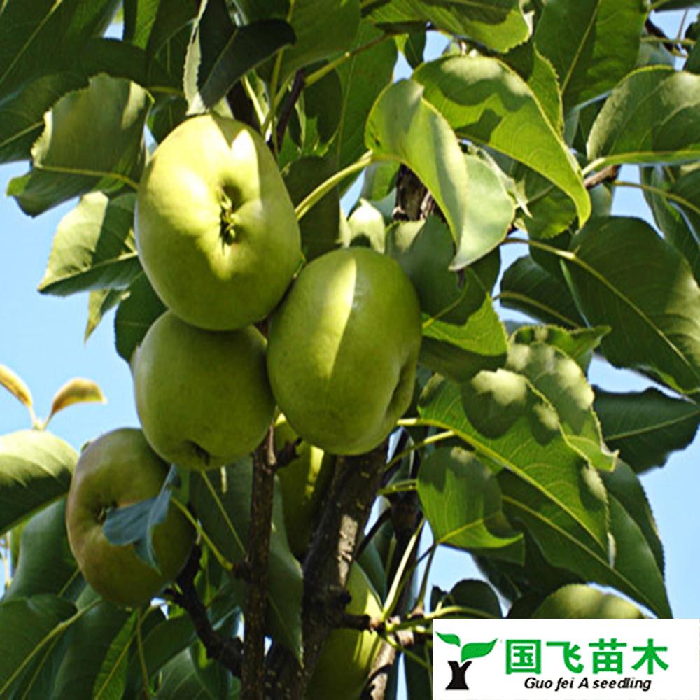 青龙苹果树苗