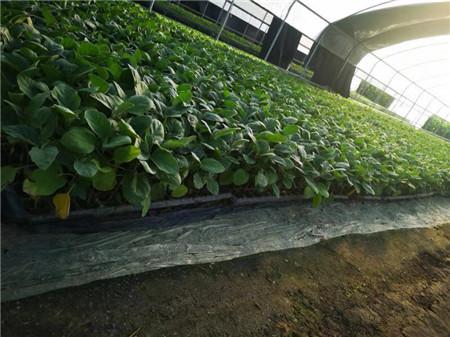 茄子幼苗种