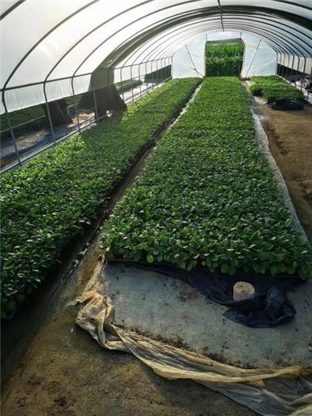 45天育苗的茄子种苗!