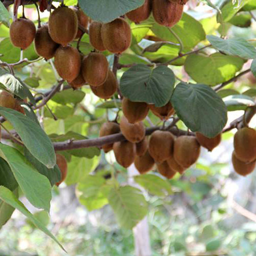 泉盛农场-猕猴桃树苗