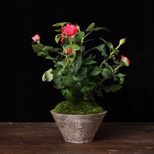 玫瑰花-室內盆栽-產品中心-首頁